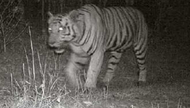 Tiger Enters Lions Den In Gujrat