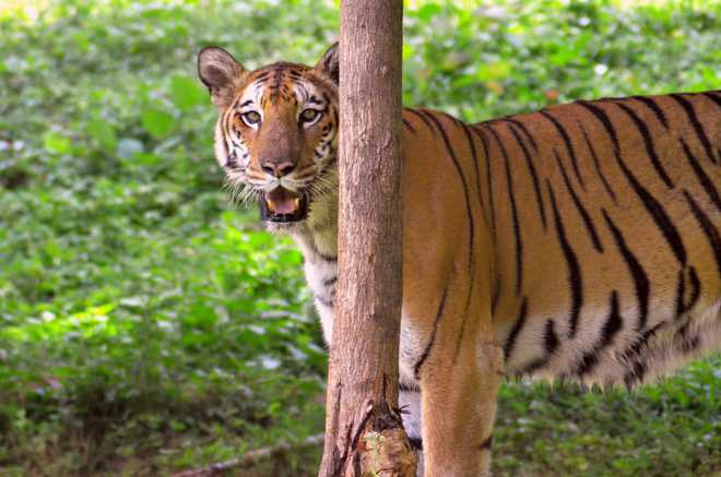 Climate Change Can Efface Bengal Tigers