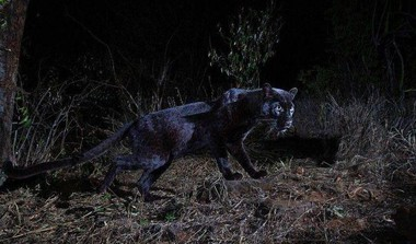 Rare Wild Black African Leopard Spotted in 100 Yrs