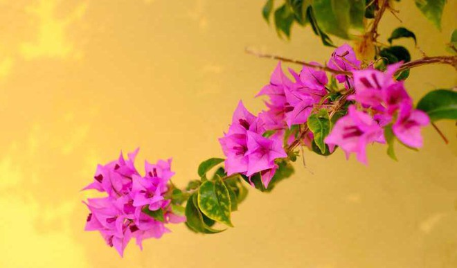 Hemalatha's Poem On 'Muted Bougainville'
