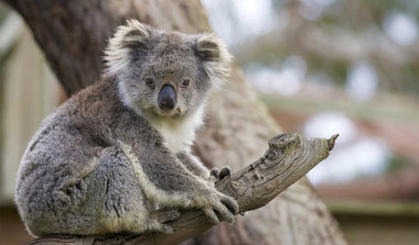 Koala Bear Is Now 'Functionally Extinct'