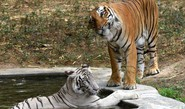 Bengal Tigers May Not Survive Climate Change: UN