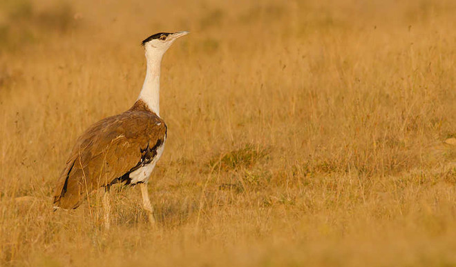 Great Indian Bustard Is Critically Endangered