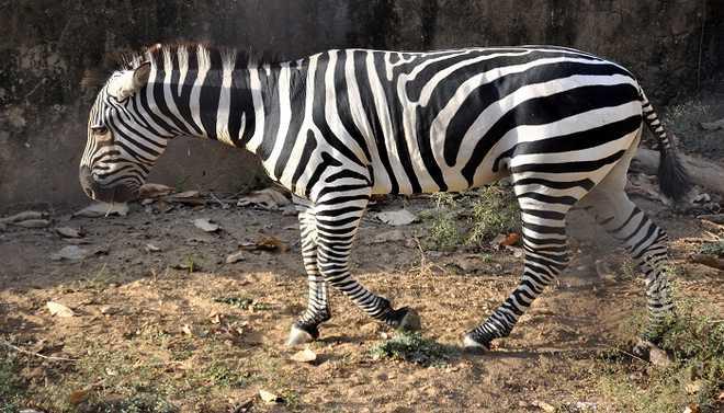 Zebra's Stripes Keep Them Cool