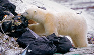 Polar Bear Looks For Food In A Garbage Dump