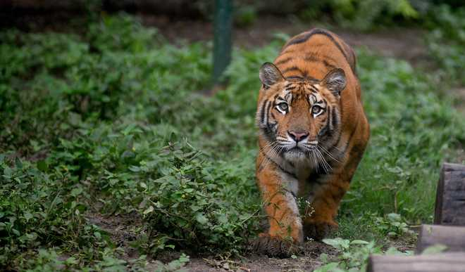 Does Tigers' Presence Dip Value Of Reserve?