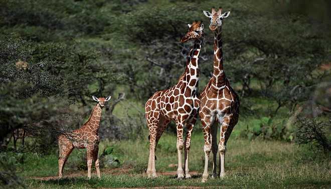 Giraffe Is Facing A Silent Extinction