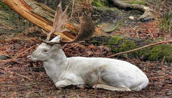 Rare Deer Lived Beyond Extinction