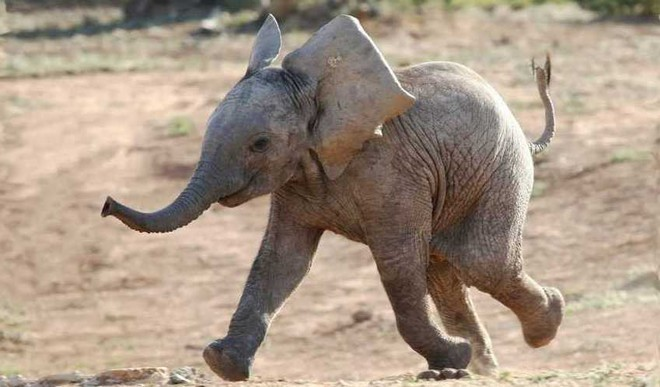 Baby Elephant Jumps In Water To Save Man