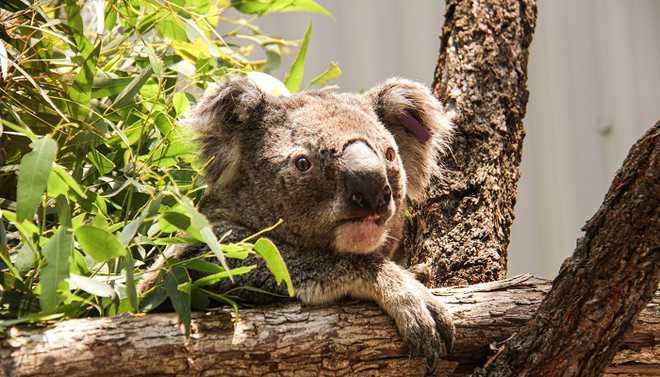 Koala Population Halved By Australia Bushfires