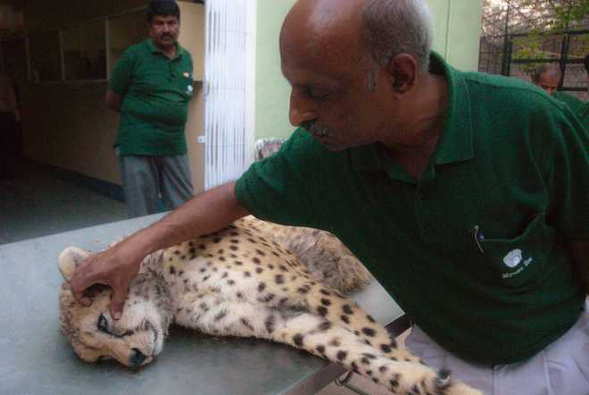 SC Allows Centre To Bring African Cheetah To India