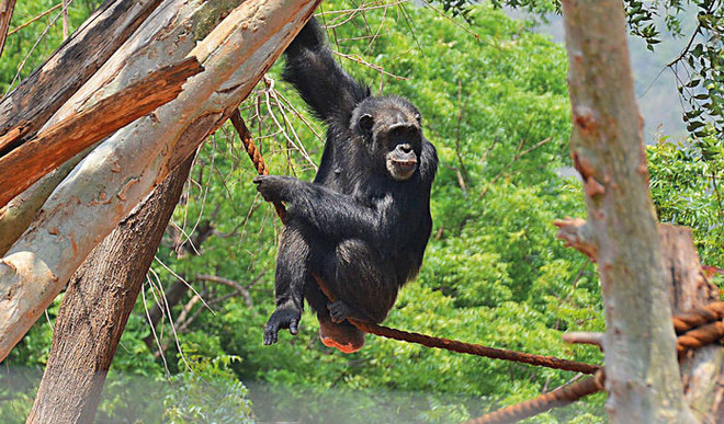 Our Dancing Skills Evolved From Chimps
