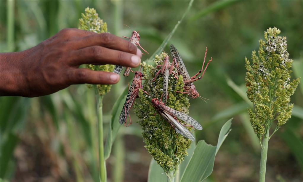UN Alert On New Wave Of Locusts In Somalia