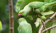 Anya: Why Do Parrots Eat Chillies?