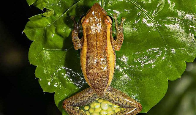 New Genus Of Treefrog Found In Andamans