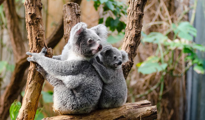 How Do Koalas Drink?
