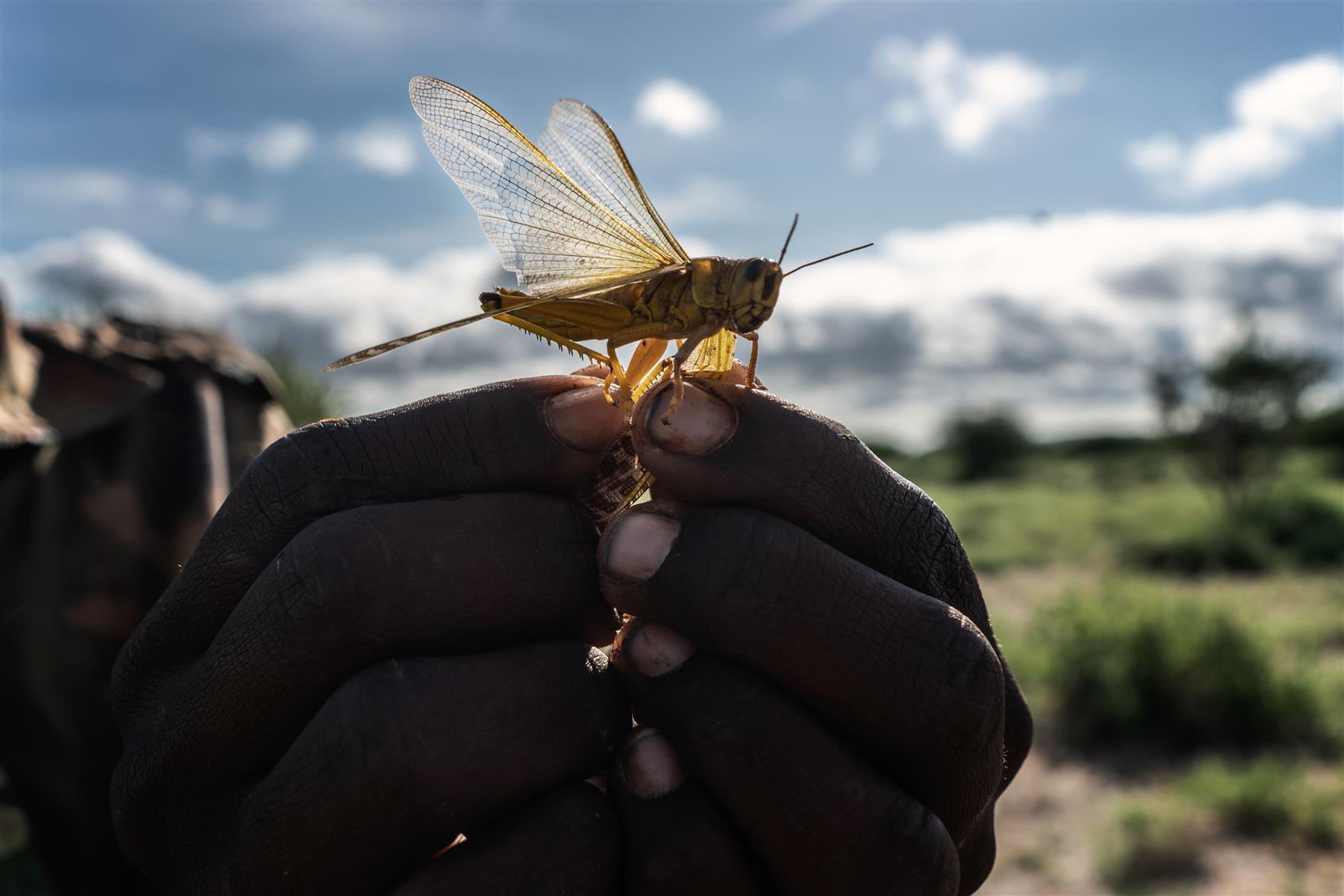 What Is Desert Locust Plague?