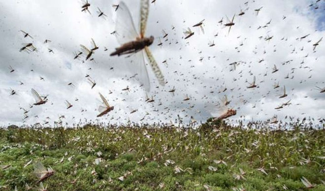 If Pakistani Pigeons Spy, Do Locusts Too?
