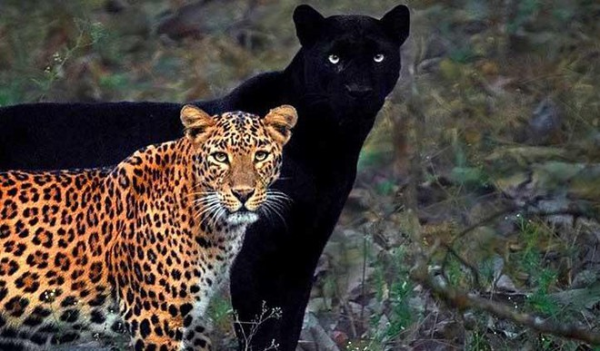 Rare Pic Of Black Panther & Leopard Couple