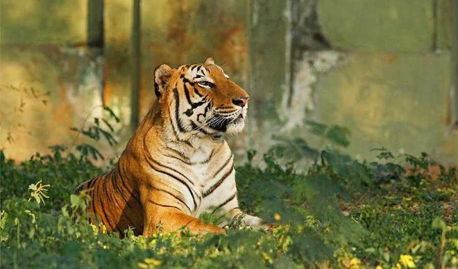 India, Now Home To 70% Of Tigers Globally