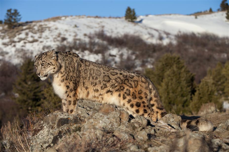 73 Snow Leopards Estimated In Himachal Pradesh