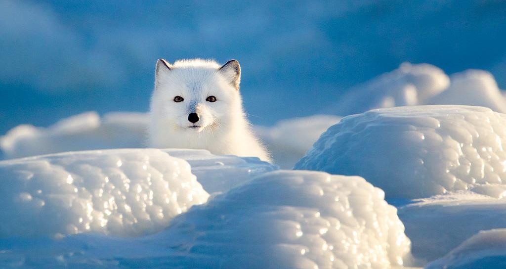How Do Arctic Foxes Hunt In Snow?