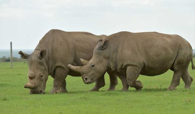 Scientists Create Northern White Rhino Embyros