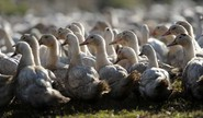 France Sees Bird Flu Outbreak
